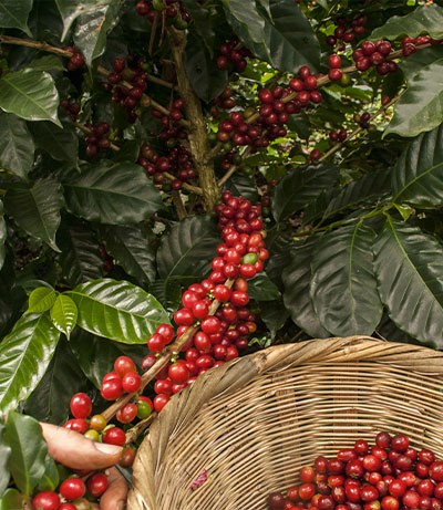 Pianta di caffè Arabica e Robusta