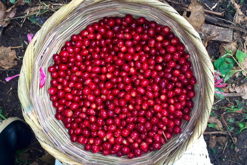 Drupa di arabica, il frutto del caffè